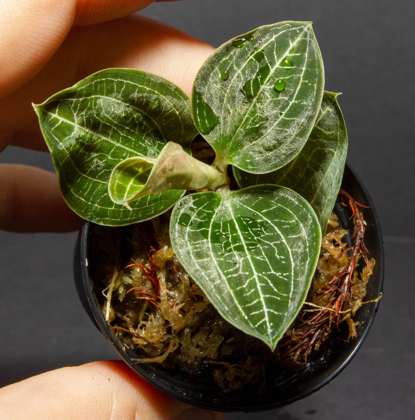 Jewel Orchid Anoectodes Charlottes web