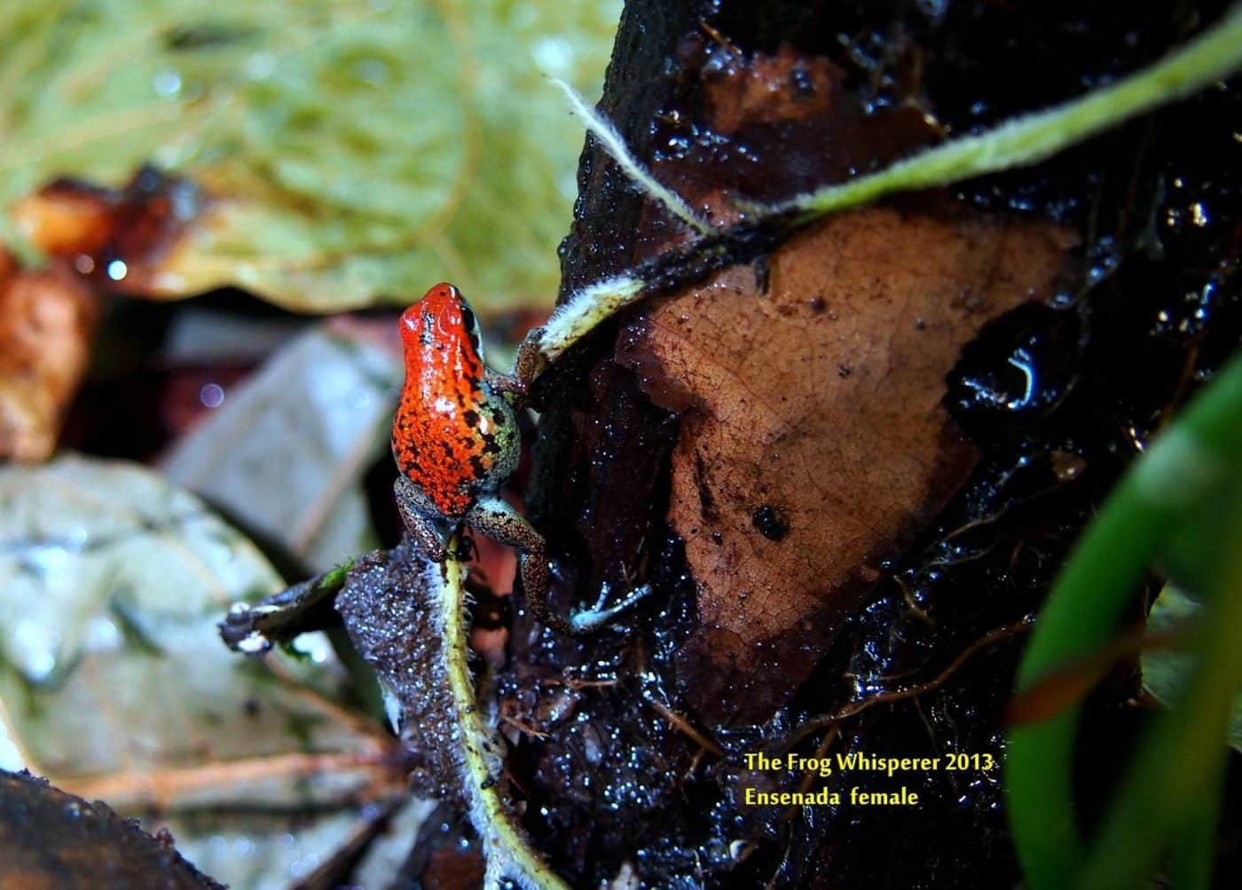 Oophaga pumilio esenada dart frog