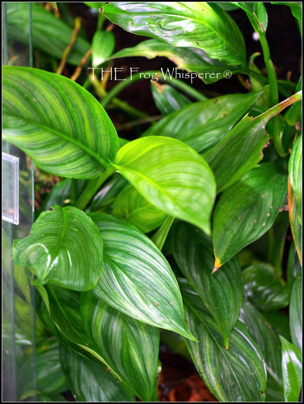 Philodendrons and other aroids