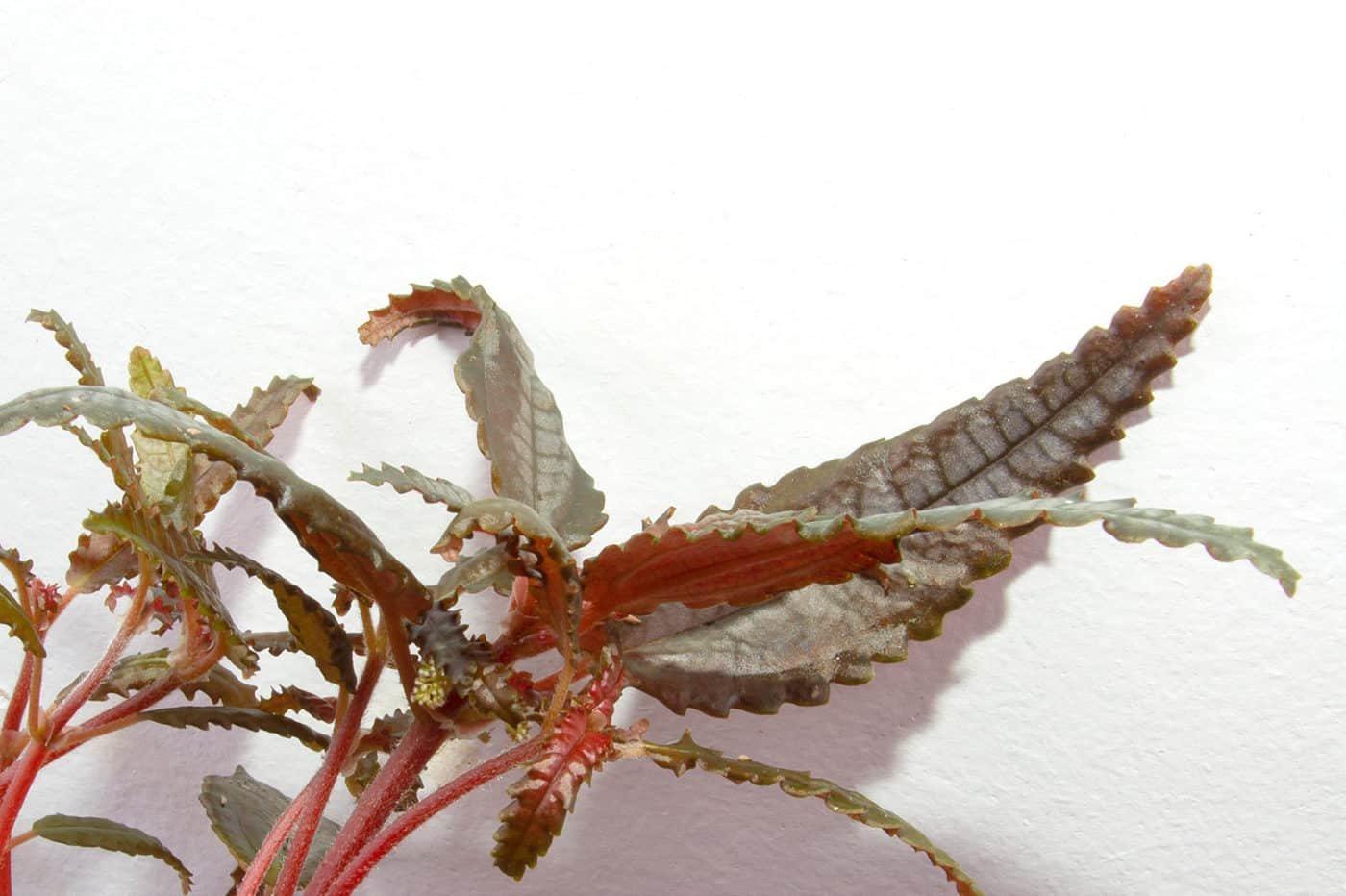 Pilea dark mystery plant