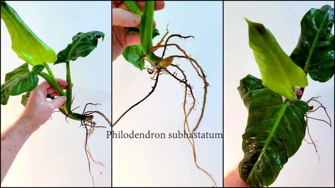philodendron roots