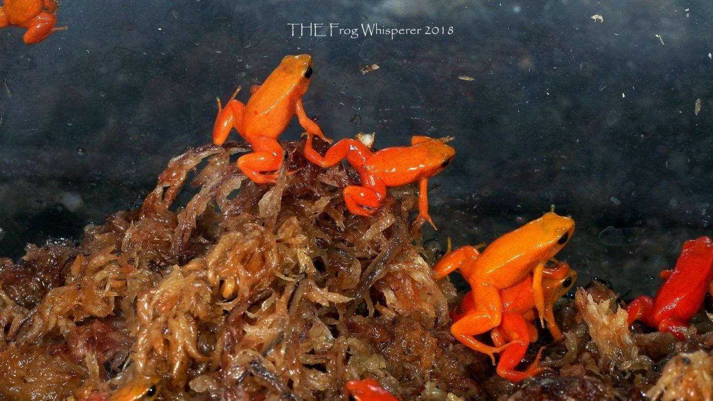 Mantella aurantiaca or golden mantellas are beautiful tiny frogs from Madagascar - Shawn Harrington