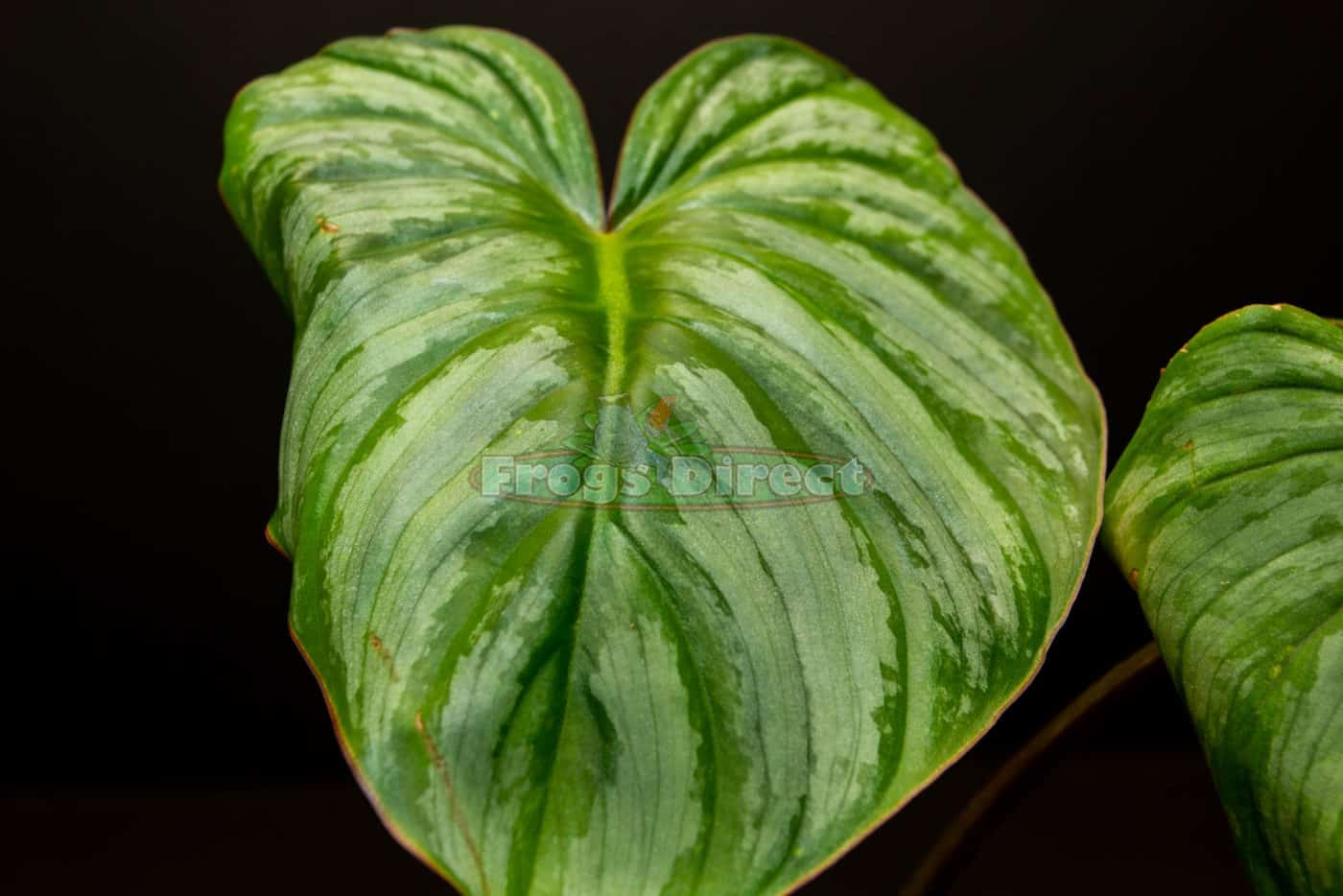 philodendron mamei aff leaf
