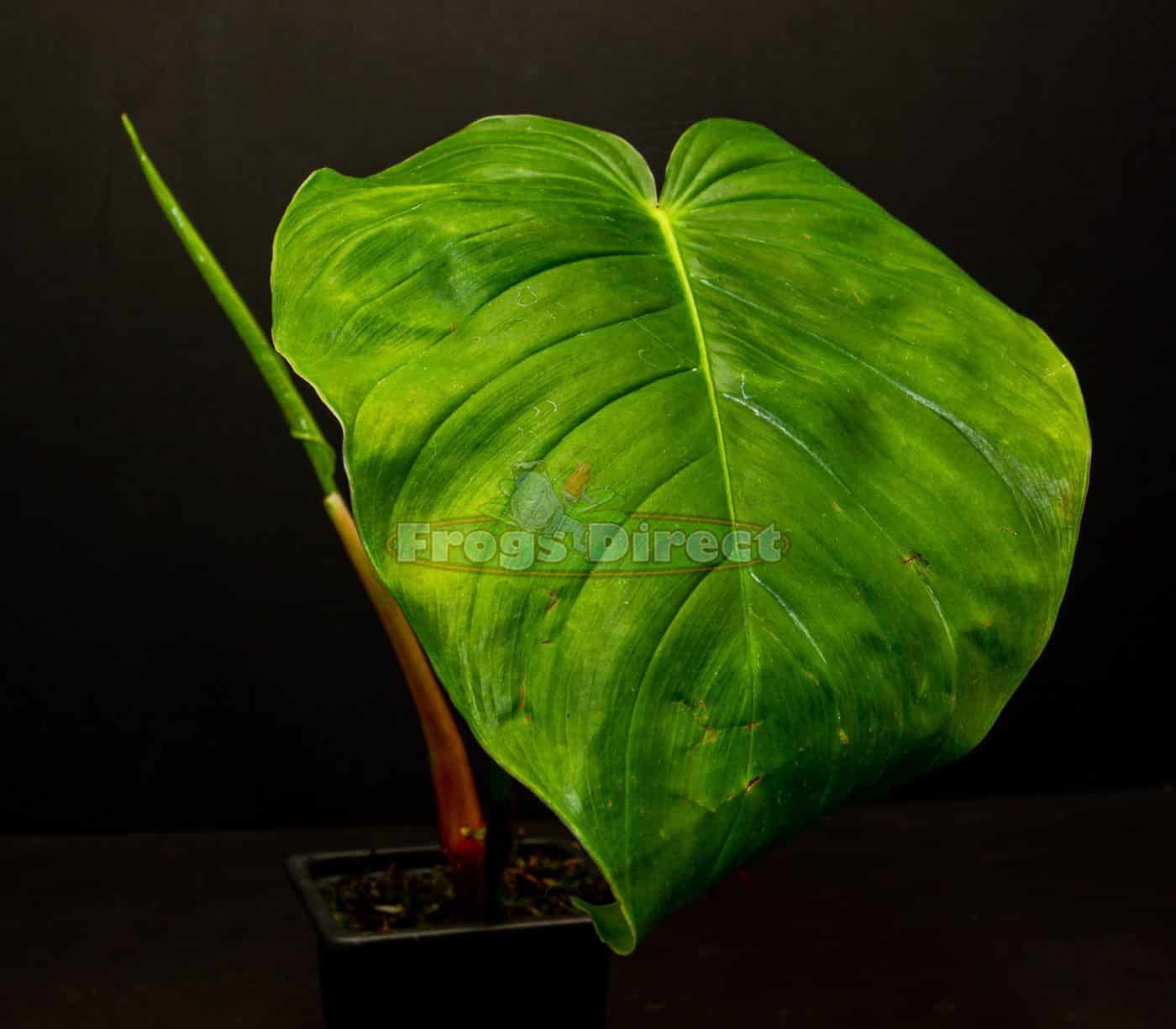 Philodendron quelelii