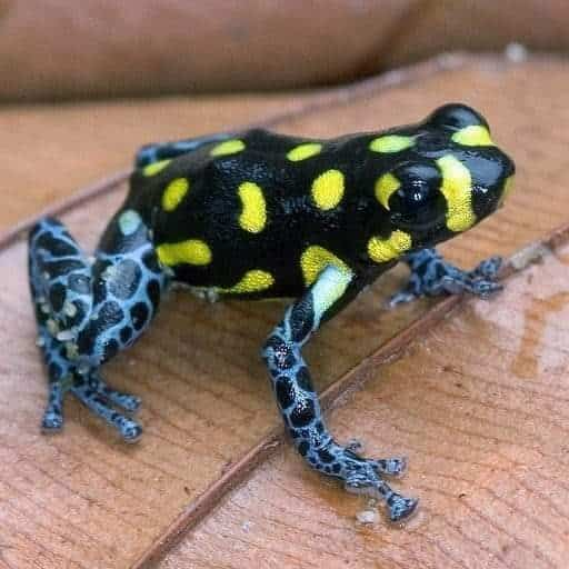 Rainforest Poison Dart Frogs and Exotics