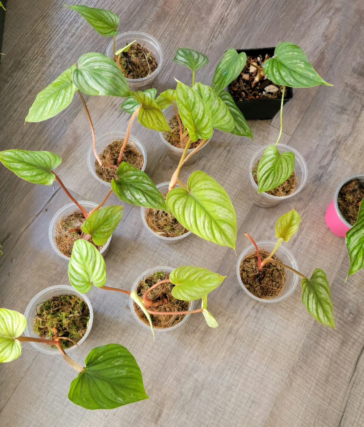 Philodendron mamei seedlings