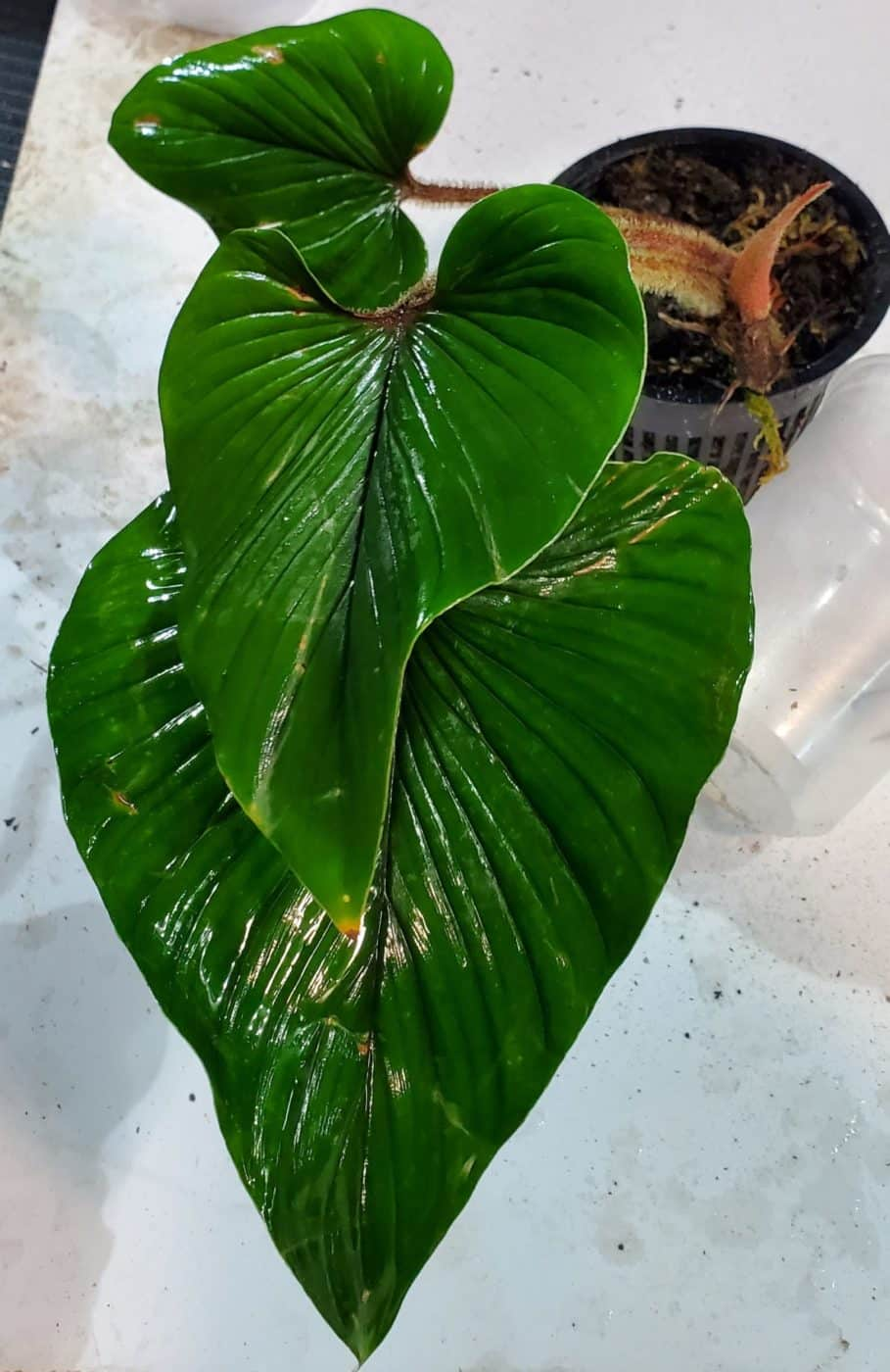 philodendron squamiquale overhead