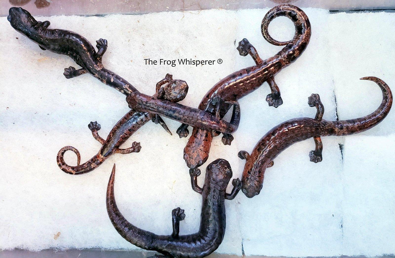 bolitoglossa salamanders