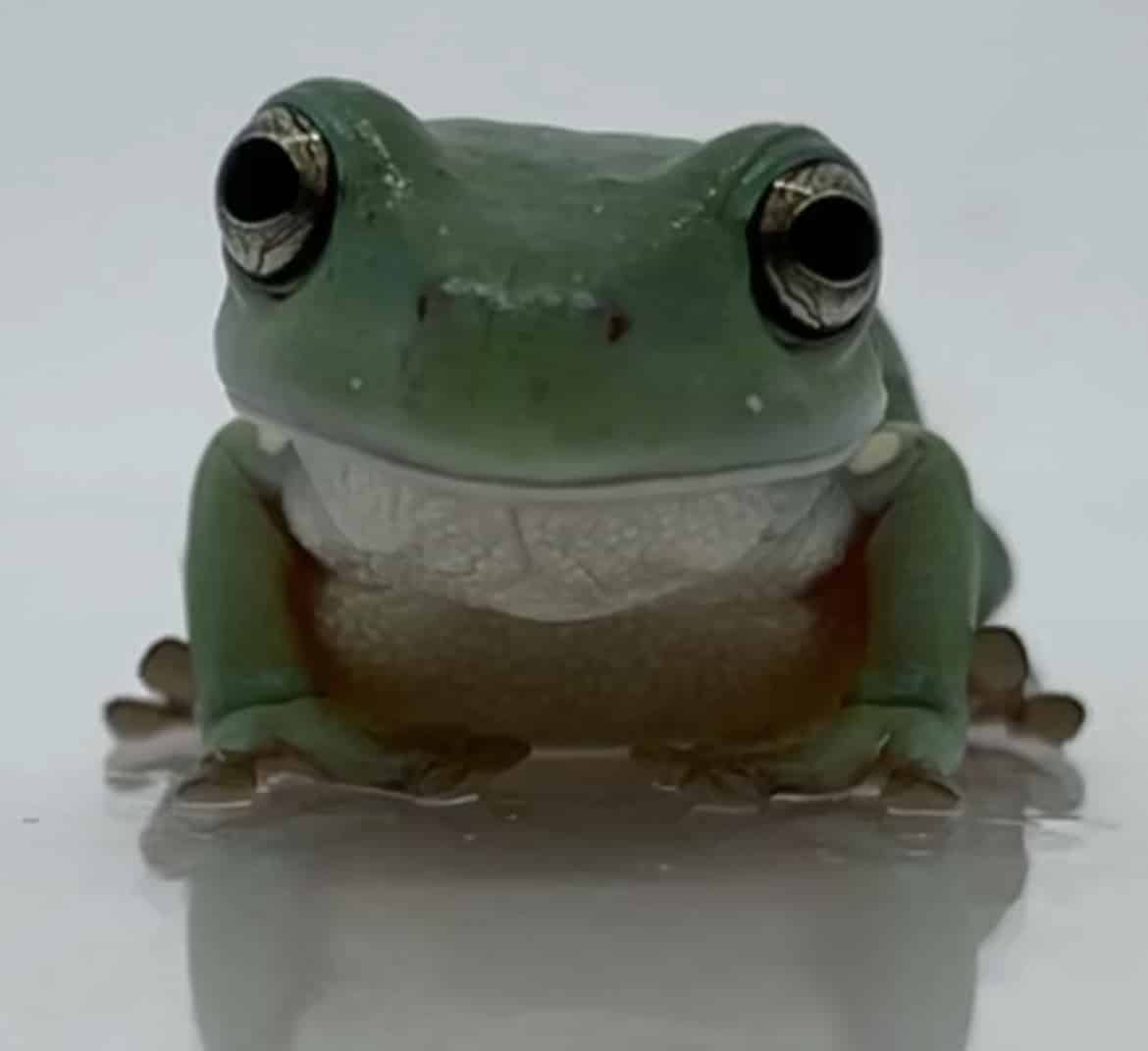 White's tree frog close-up