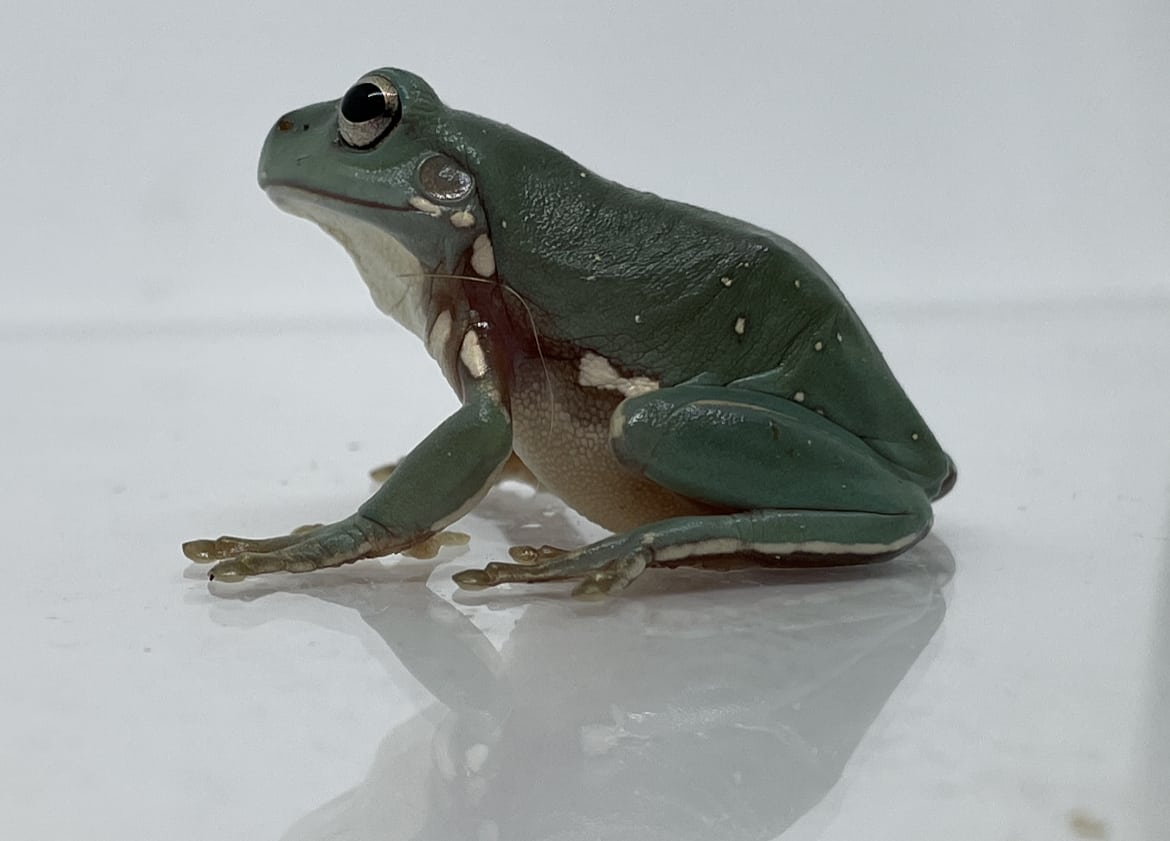 White's tree frog side profile