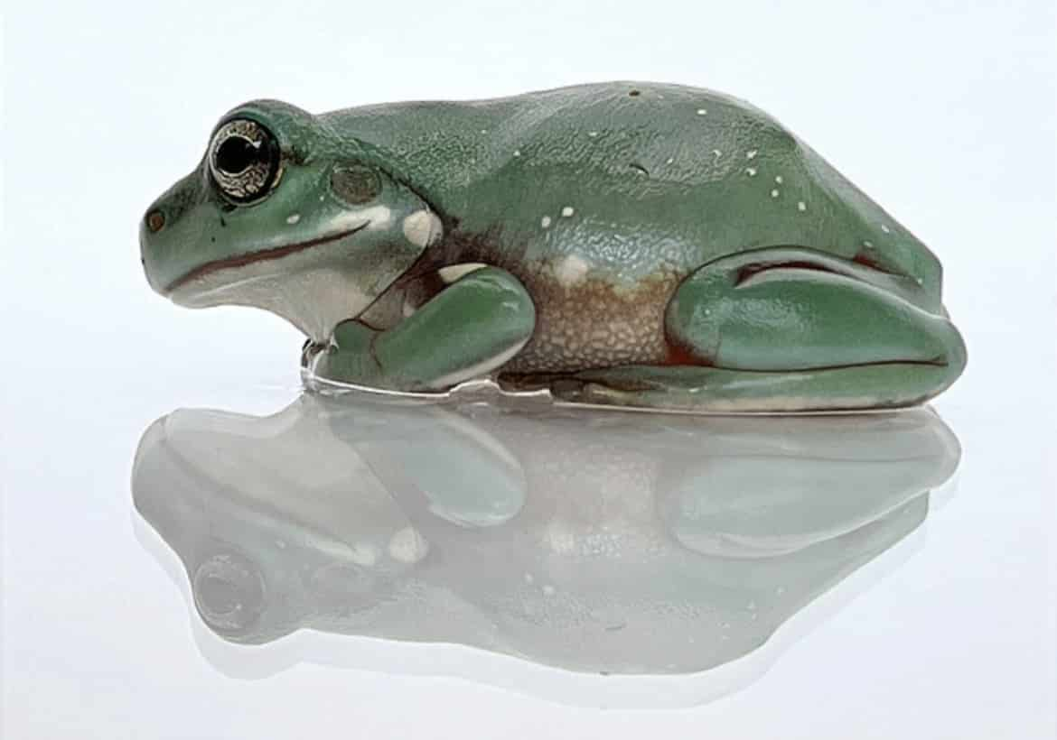 white's tree frog side view