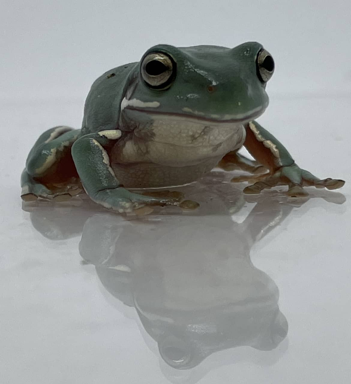 White's tree frog front view
