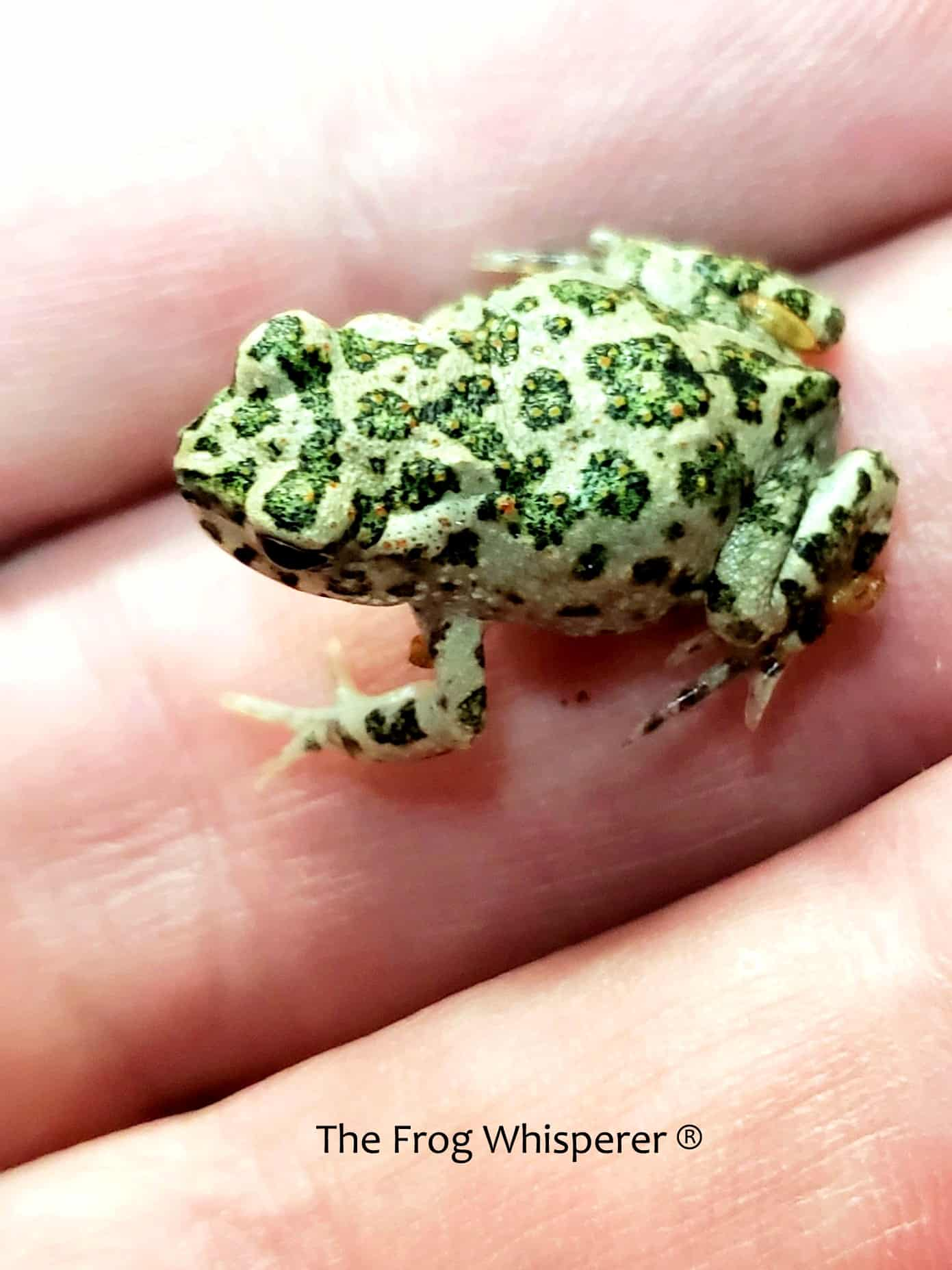 Bufo toad on hand