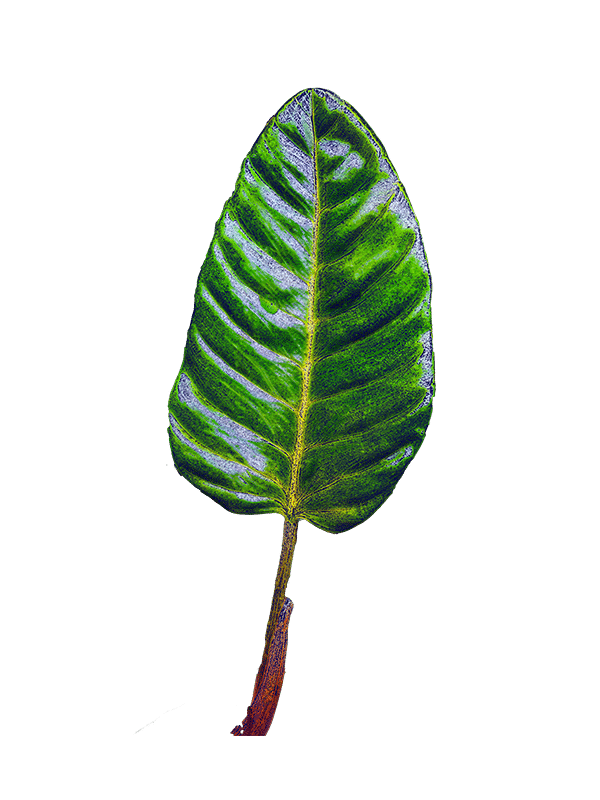 Philodendron Leaf cutout